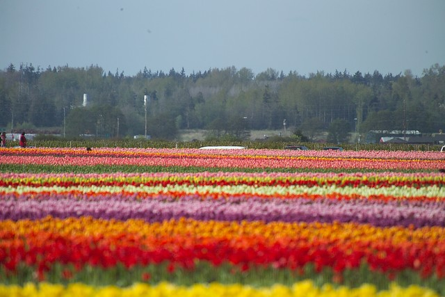 Rainbow of Tulips, Take My Breath Away! - 2